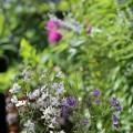 チドリソウの咲く庭