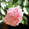 小さな薔薇が咲いています。