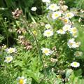 Photos: ヒューケラの咲く庭