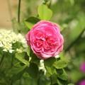Photos: お庭のバラ
