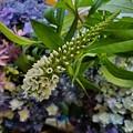 オカトラノオと紫陽花