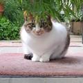 Photos: 三毛猫