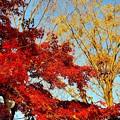 散歩道の紅葉