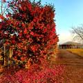 サザンカの咲く風景