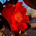 Photos: 朝日を浴びる山茶花