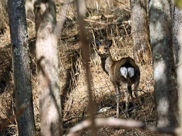 小鹿のハート  R-898A2300p