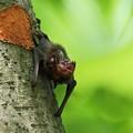 蝙蝠(こうもり) R-898A0146-1p