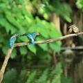 写真: カワセミ給餌 R-898A0005