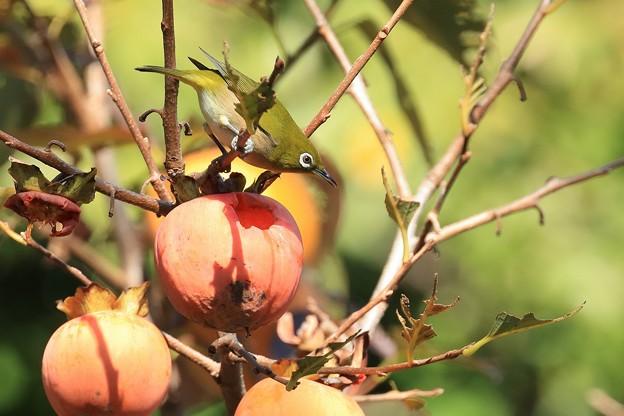 柿メジロ 1R8A1590-1
