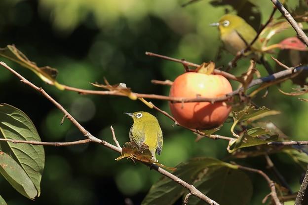 柿メジロ 1R8A1641