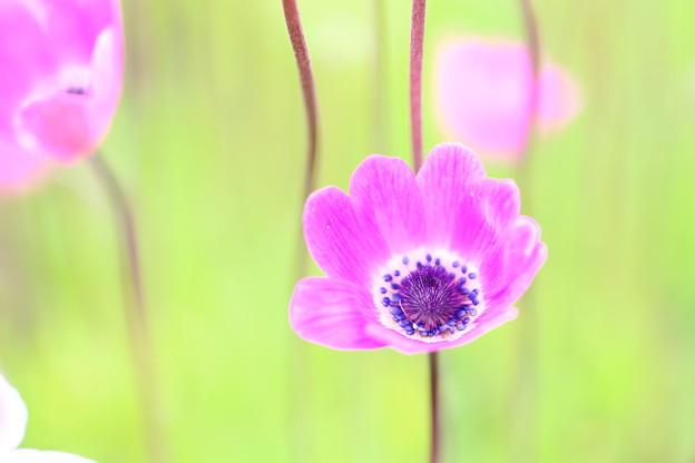 写真: 富士芝桜祭り