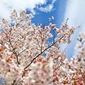 談合坂SAの桜