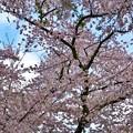 福島 観音寺川の桜