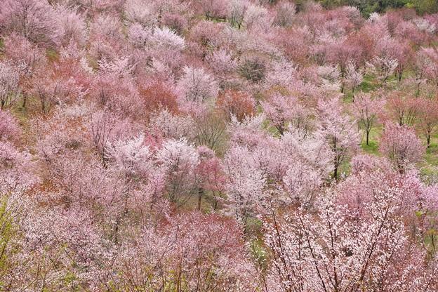 福島 裏磐梯・桜峠