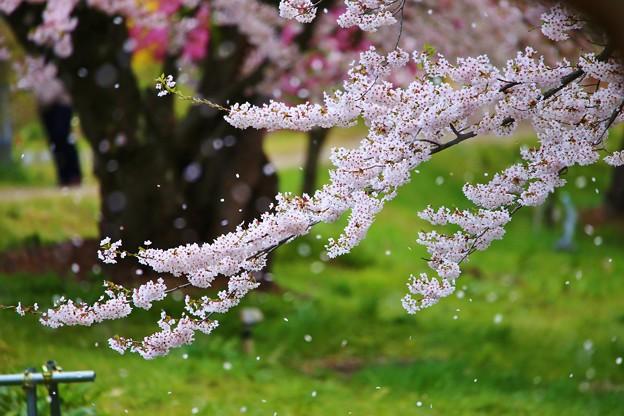 Photos: 花吹雪