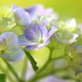 Photos: 松戸・本土寺の紫陽花