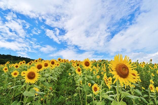 福島 三ノ倉高原の向日葵