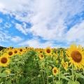 Photos: 福島 三ノ倉高原の向日葵