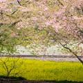Photos: 石神菜の花畑にて(2/8)