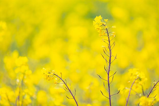 Photos: 石神菜の花畑にて(4/8)