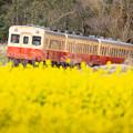 Photos: 石神菜の花畑にて(6/8)