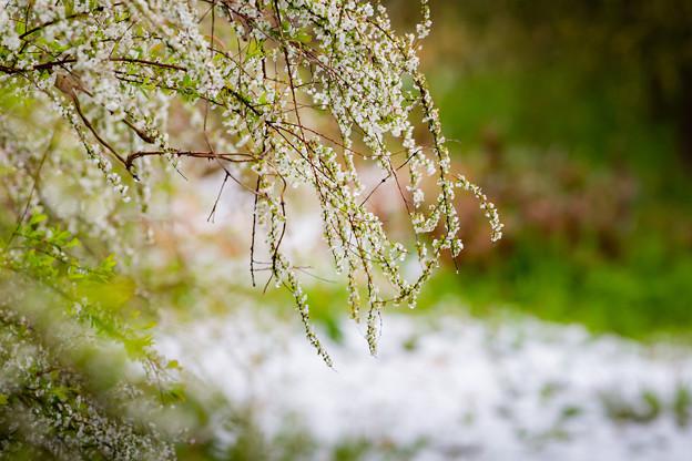 Photos: 季節外れの雪の後・・(5/6)