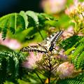 Photos: 見て、キレイな羽根でしょ?
