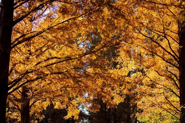 水元公園 メタセコイアの森 その3