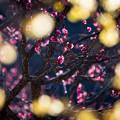 Photos: 紅梅 蝋梅の額縁を添えて~