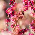 Photos: 紅梅~