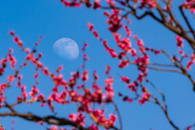 Photos: 紅梅に昼の月~