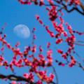 紅梅に昼の月~