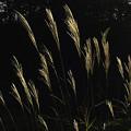 Photos: ススキの穂の輝き