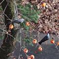 Photos: 柿とヒヨドリ