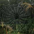 Photos: 雨上がりのススキとクモの巣