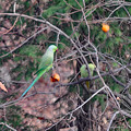 Photos: 柿とインコ
