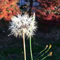 Photos: ノゲシの綿毛
