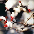 Photos: 紅白:ハナミズキの実と雪