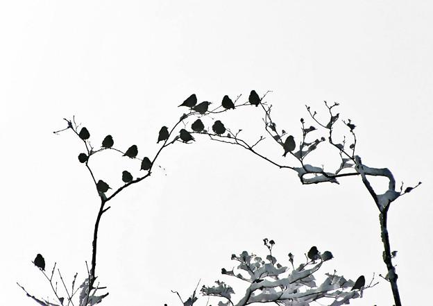 Photos: 黒ヒワ