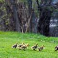 写真: Canada Geese