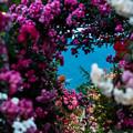 写真: バラ祭り