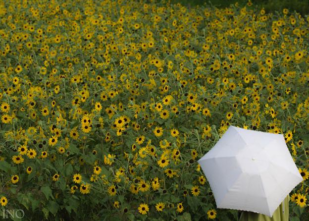 ひまわりと日傘