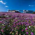 Photos: Flower Carpet