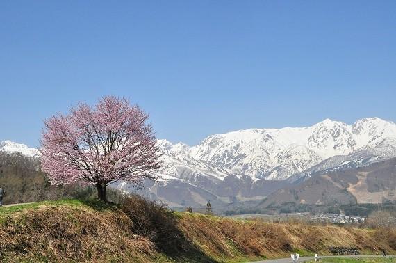15野平の桜1