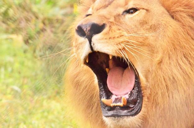 写真: 咆哮するライオンその4 DSC_2251 (2)