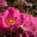 DSC_0263 (3) 薔薇の花です。