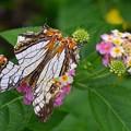 写真: DSC_5159 (2) 蝶々の擬態
