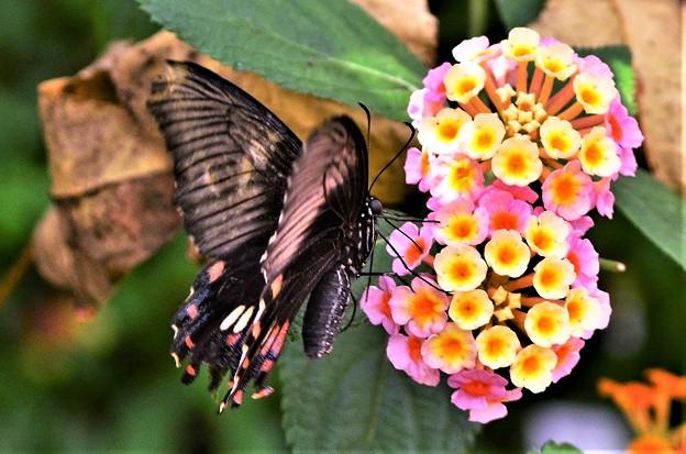 写真: DSC_5167 (2)  アゲハ蝶です。