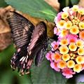 DSC_5167 (2)  アゲハ蝶です。
