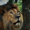 写真: DSC_1811 (2) 餌をぐっと見つめるライオン
